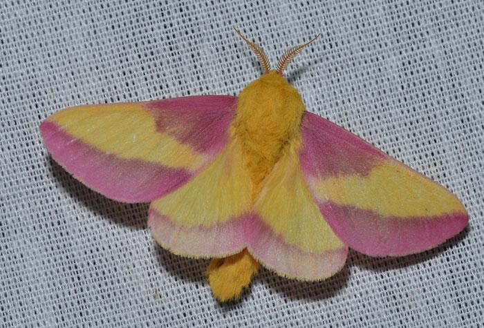 Woman Finds Gorgeous Moth In Backyard