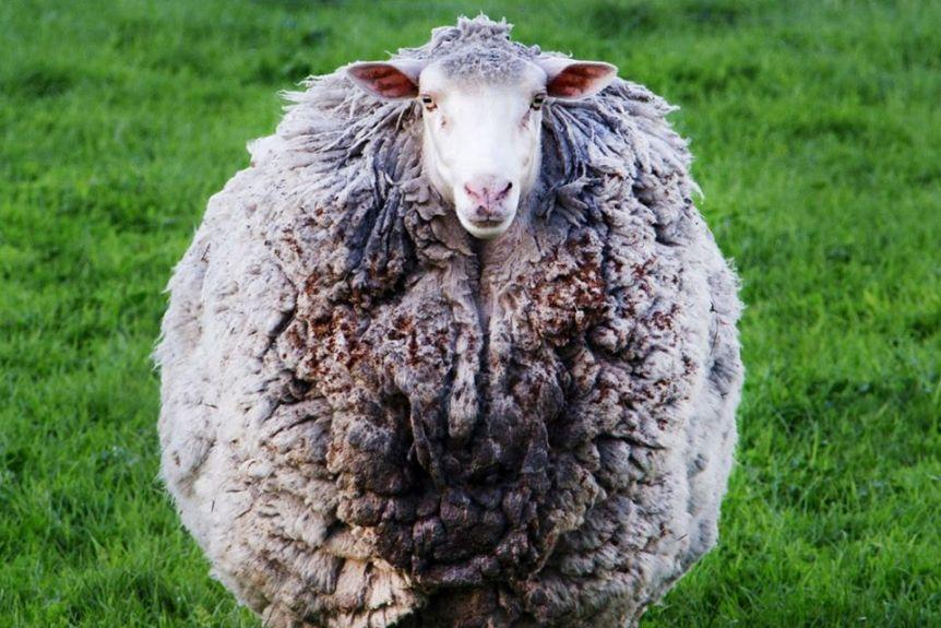 Missing Sheep Found Alive After Seven Years
