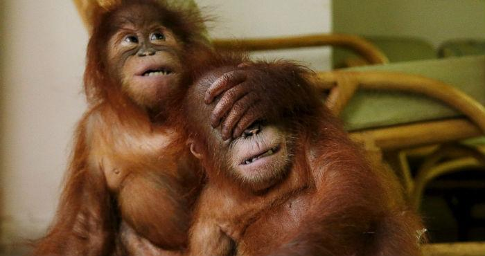Orangutan Does The Unthinkable After Giving Birth At Zoo